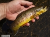 wild-brown-trout.jpg